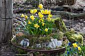 Schale mit Narzissen 'Tete a Tete', dekoriert mit Moos, Rinde und Zweigen im Garten