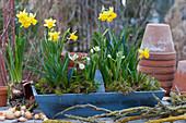 Korb mit Narzissen 'Tete a Tete', Milchstern und Traubenhyazinthen, Steckzwiebeln, Zweige und Tontöpfe