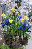 Korb mit Narzisse 'Tete a Tete', Netziris, Moos und Zweig mit Zapfen als Frühlingsdeko