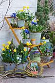 Frühlings-Arrangement auf der Terrasse: Narzissen 'Tete a Tete', Netziris, Milchstern, Traubenhyazinthen, Krokus auf Blumentreppe