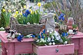 Tisch mit bepflanzter Schublade und Osterdekoration : Traubenhyazinthen, Narzissen 'Tete a Tete', Milchstern, Netziris und Hornveilchen, Osterhase und Eierschalen