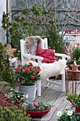 Weihnachts-Terrasse mit Skimmie, Kiefer, Zuckerhutfichte, Wacholder und Christrosen, Sessel mit Fell und Kissen