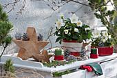 Christrose mit weißer Filz-Manschette im roten Topf auf Holzscheibe, Holzsterne, Kerzen und Zapfen als Deko