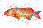 Coral Trout Illustration