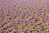 Purple Greek saffron flowers (crocus sativus) in a field