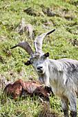 A billy goat