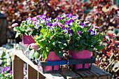 Hornveilchen und Tausendschön in pink und lila