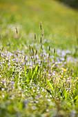Alpine meadow flowers