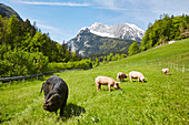 Alpine pigs near Berchtesgaden, Bavaria, Germany