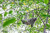 A sloth in the mangroves, Playa Blanca, Osa peninsula, Costa Rica, Central America