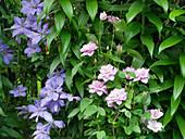 Clematis 'Mrs Chomondeley' und Clematis 'Innocent Glance' mit gefüllten Blüten