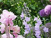 Blühendes Staudenbeet mit Pfingstrose, Glockenblume und Zierlauch 'Ambassasdor'