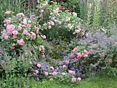 Kleinstrauchrose 'Pink Swany' und 'Lovely Meidiland' mit Salbei, Glockenblume und Katzenminze 'Six Hills Giant'