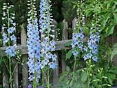 Rittersporn 'Morgentau' am Gartenzaun