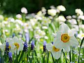 Narzisse 'Flower Record' in der Blumenwiese