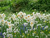 Blumenwiese mit Narzisse 'Geranium', Wiesenschaumkraut und Traubenhyazinthen