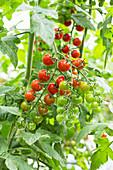 Tomato vine in a greenhouse
