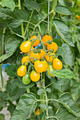 Yellow submarine tomatoes on a vine