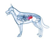Dog small intestine, illustration