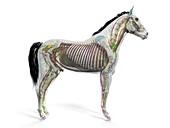 Horse anatomy, illustration