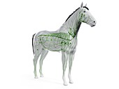 Horse lymphatic system, illustration