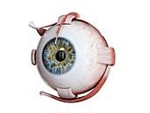 Human eye muscles, illustration