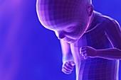 Foetus, week 29, illustration