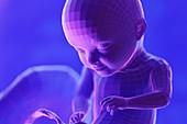 Foetus, week 31, illustration