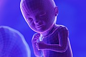 Foetus, week 33, illustration