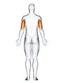 Triceps muscle, illustration