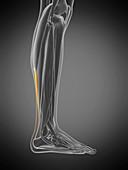 Achilles tendon, illustration