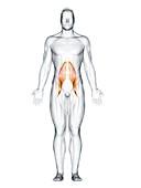 Psoas major muscle, illustration