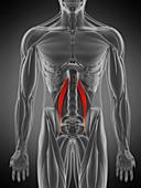 Psoas minor muscle, illustration