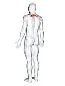 Rhomboid minor muscle, illustration