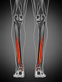 Flexor hallucis muscle, illustration