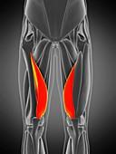 Vastus medialis muscle, illustration