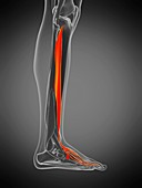 Digitorum longus muscle, illustration