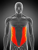 External oblique muscle, illustration