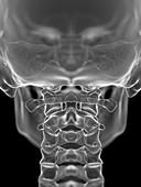 Atlas bone, illustration