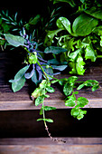 Fresh herbs and lettuce plants on a wooden shelf