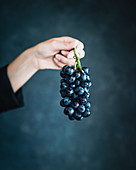Woman's hand holding blue grapes agains blue background
