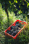 Pinot noir grape harvesting