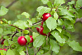 Red wild plums (Prunus americana) on a tree