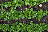 Lambs lettuce in rows in a vegetable patch