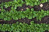 Feldsalat in Reihen im Gemüsebeet