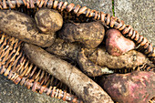 Freshly harvested yacon roots (Smallanthus sonchifolius) in a wicker basket