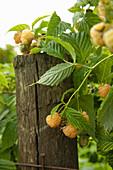 Yellow raspberries growing