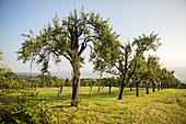 An orchard in Nackberg, Merzig, Saarland, Germany