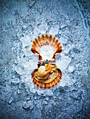 A fresh scallop on ice against a blue background with copy space