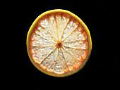 Backlit portrait of a pink grapefruit slice